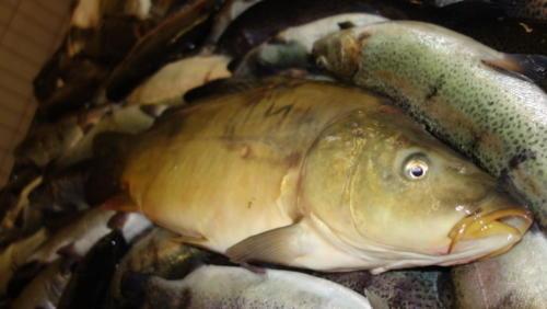 Karpfen, frisch aus dem Fischteich.